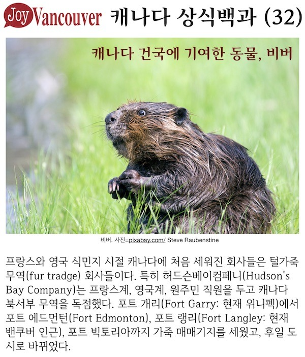 [상식백과(32)] 캐나다 건국에 기여한 동물: 비버