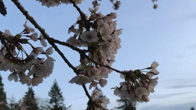 밴쿠버의 벚꽃 엔딩, 언제, 어디서?