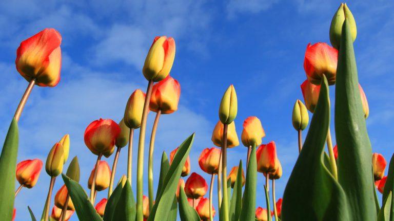 봄에는 역시, 밴쿠버 주변 튤립 축제
