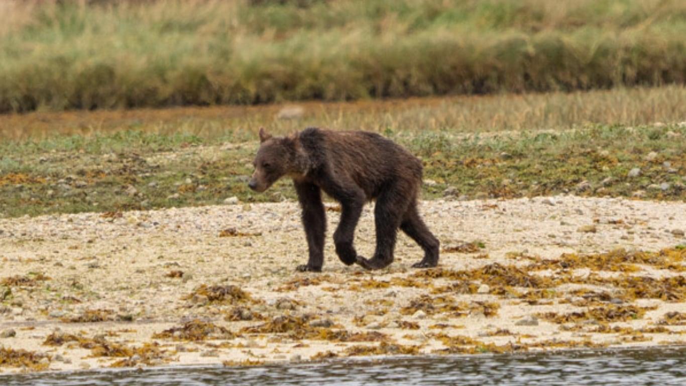 수척해진 불곰