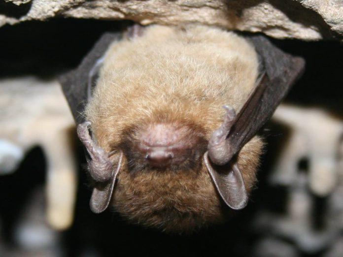 BC주 박쥐